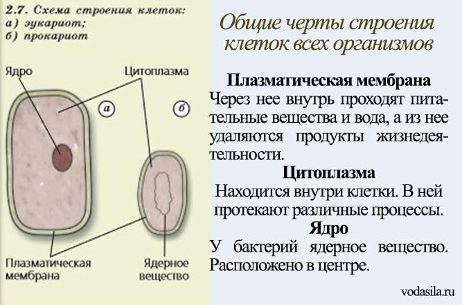Общие черты клеток